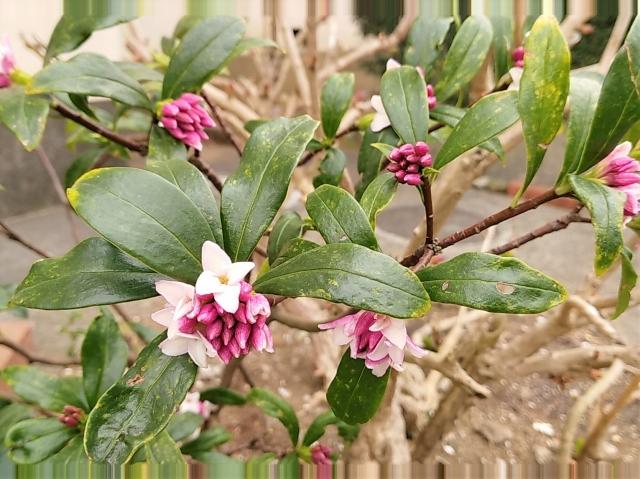 春といえば沈丁花